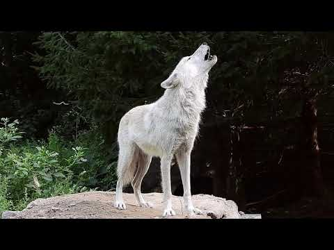 Forty-two Wolves Howling