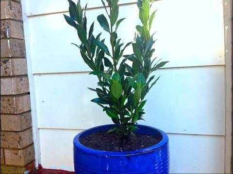 How to grow a Bay Tree