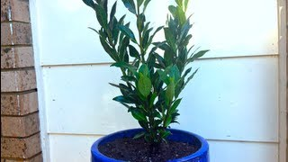 How to grow a Bay Tree