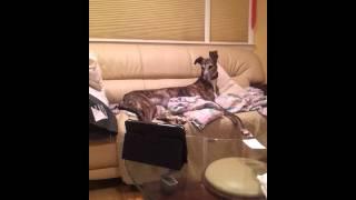 Greyhound watching kitty porn