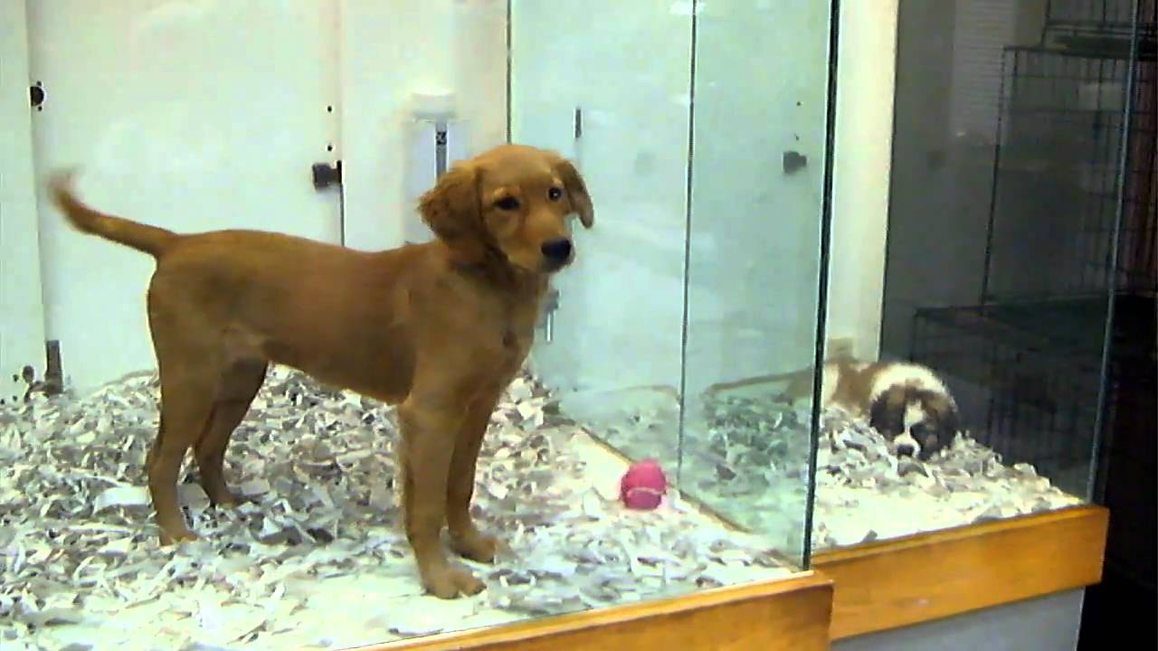 golden retriever at pet store   youtube