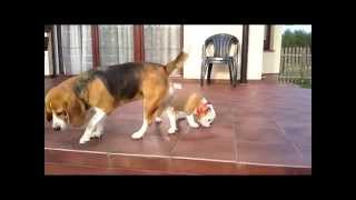 Beagle Care Of The English Bulldog