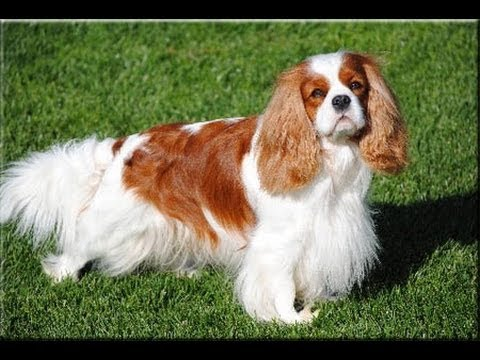 Adult cavalier king charles spaniels for sale