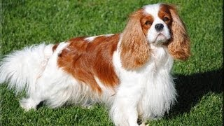 Not the Truth About the Cavalier King Charles Spaniel (stop bullying me pls)
