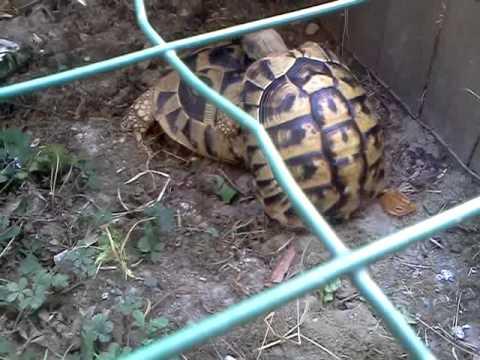 Tartarughe terrestri dopo il risveglio invernale doovi for Accoppiamento tartarughe
