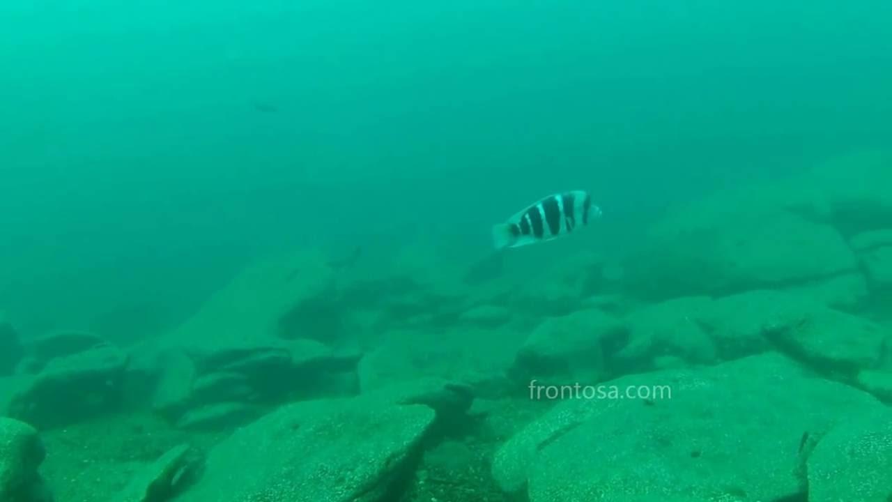 Frontosa cichlid: care, size, lifespan, tankmates, breeding