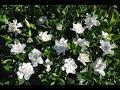 Cómo reproducir el Jazmín del Cabo o Gardenia por esquejes