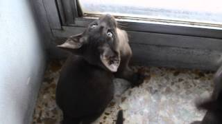 Chocolate oriental shorthair kitten - Robert