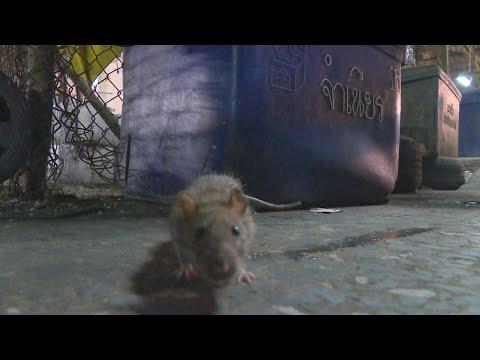 Coronavirus: rats take over emptied Bangkok streets   AFP