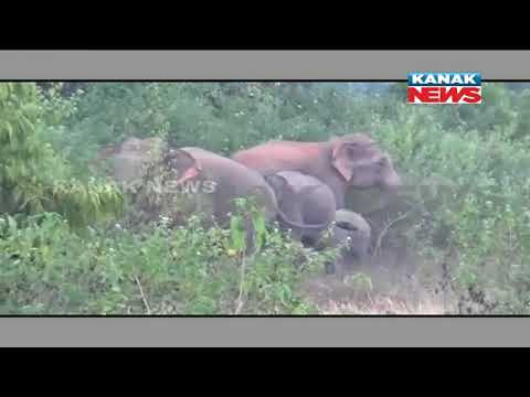 Elephant Herd Destroys Crops, Injured Two In Keonjhar
