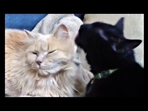 Cat Licking Fluffy Cat