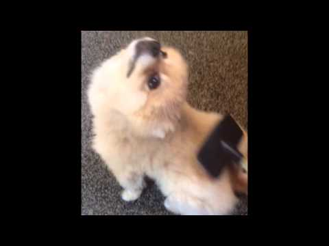 Funny Puppy Loves to be Groomed