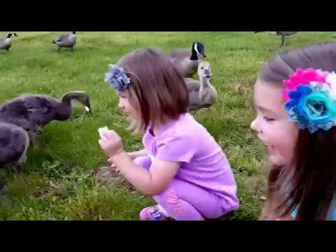 Kids Feeding Geese | Cute Baby Geese | Family Fun @ The Park!!!