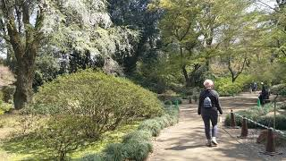 Nora strolls 'neath the sakura