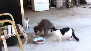 Енот забирает еду у кошек)