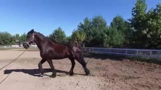 Небольшой обзор Фризской породы лошади