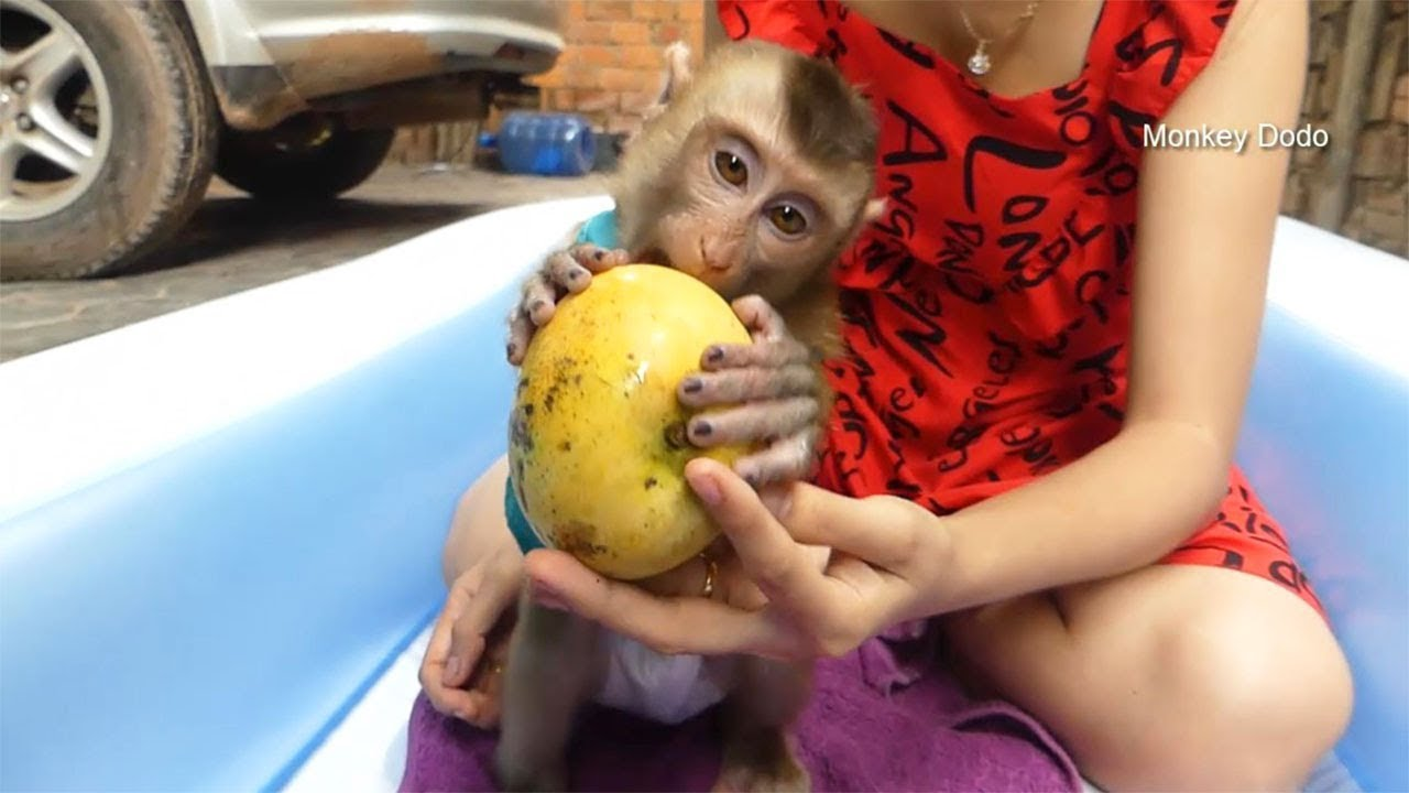 Monkey Dodo!! Dodo Very Surprise When Get Hug Mango