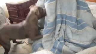 Blanket Monster (staffordshire Bull Terrier)