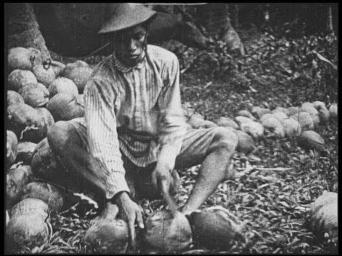 Philippine coconut harvest in 1925