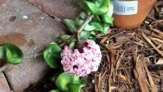 Hoya carnosa compacta (  Hindu rope Hoya ) Krinkle Kurl