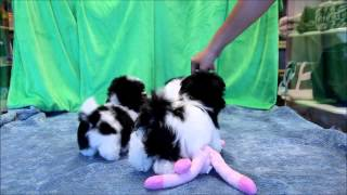 Female and Males Parti Havanese Puppies for sale in Boca Raton