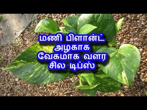 மணி பிளான்ட் அழகாக வேகமாக வளர சில டிப்ஸ்  | Tamil