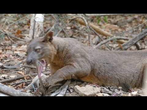 Фосса, львица Мадагаскара
