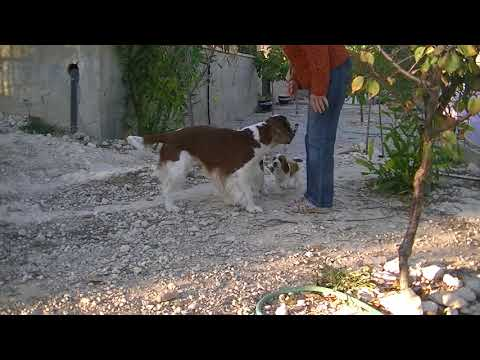 Ruby´s welsh springer spaniel puppies (part 1)