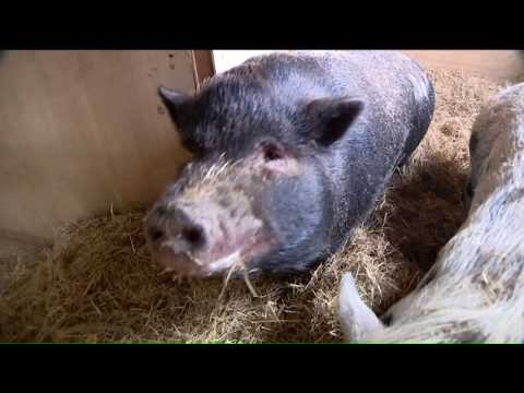 Animal Sanctuary 'at Capacity' With Adoptable Pot-Bellied Pigs, Some Of Which Have Been Waiting For