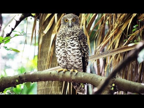 Profile of Australia's largest owl - the Powerful Owl