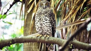Profile of Australia's largest owl - the Powerful Owl