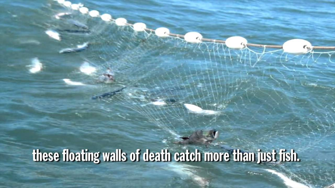 Gillnets in north carolina youtube for Drift net fishing