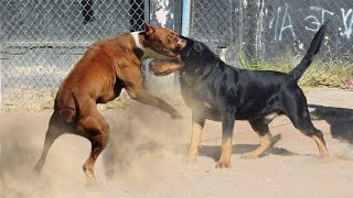 Rottweiler Vs Pitbull Who Would Win!!!