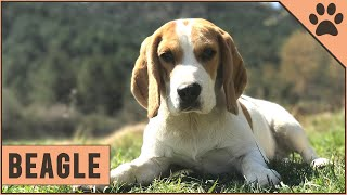 Beagle Dog Breed  Top 10 Facts