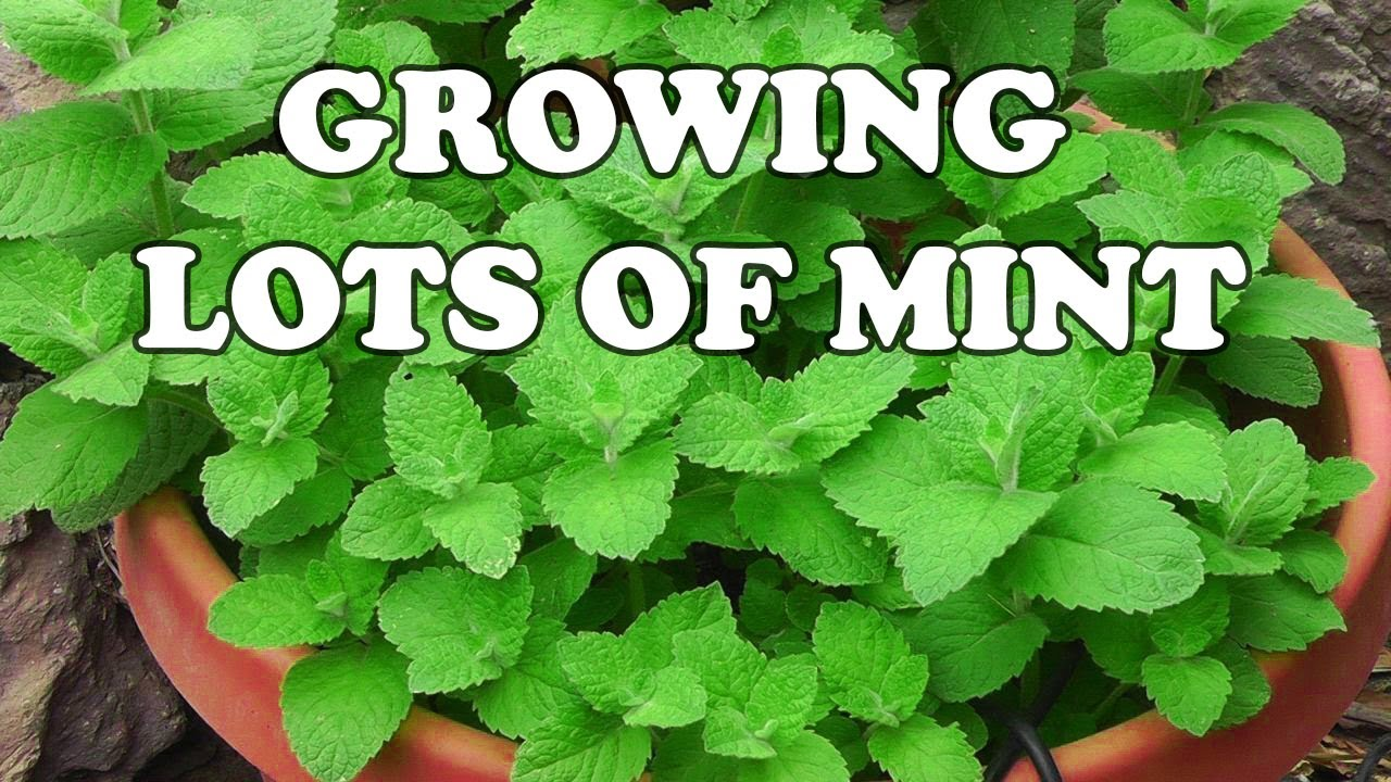 All about growing mint youtube for Different garden plants