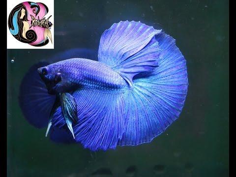 BETTA FISH HALFMOON BLUE TURQUOISE MALE - IKAN CUPANG - BETTA SPLENDENS