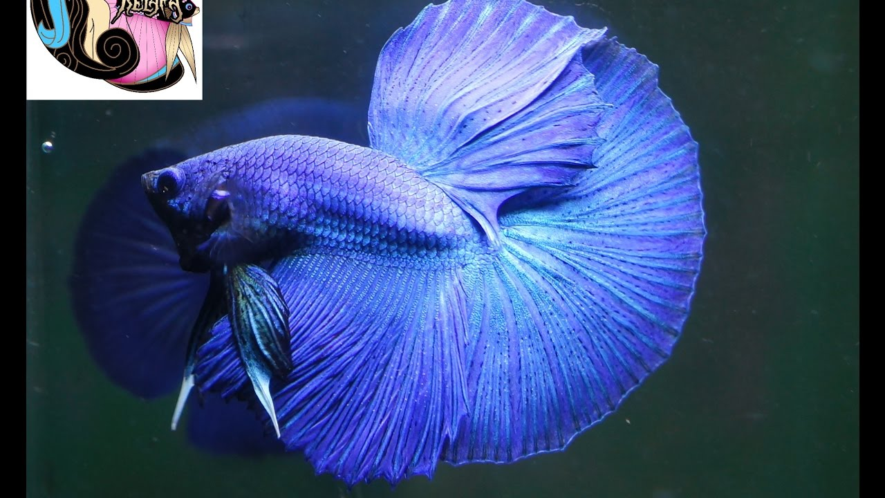 Betta fish halfmoon blue turquoise male ikan cupang for Betta fish names male blue