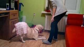 Labrador Retriever Tricks