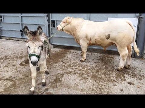 Donkey Teaches Cows To Walk thumbnail