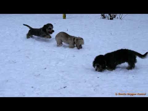 Dandie Dinmont termer Puppies 2019 Now Snow