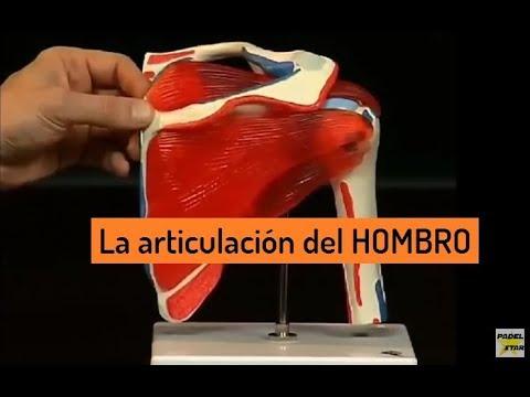 Articulación del HOMBRO - Anatomía - YouTube