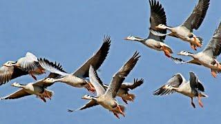 Migratory Bar headed Goose in India Team leader V.T Ingole Video by Shirishkumar Patil