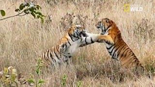 Un combat fratricide pour deux tigres