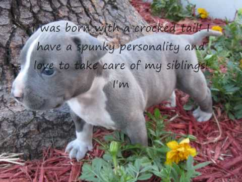 Blue Nose Pit Bull Puppies for Sale in Fort Lauderdale Razors Edge BloodLine