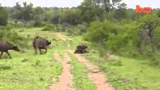 Phim | Trâu rừng húc sư tử bay như phim!!!! | Trau rung huc su tu bay nhu phim!!!!