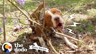 Pit Bull Chained to Tree Transforms Into the Happiest Prettiest Girl The Dodo Pittie Nation