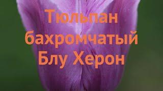 Тюльпан бахромчатая Блу Херон (tulipa tyulpan) ???? обзор: как сажать, луковицы тюльпаны Блу Херон