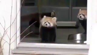 Красные панды/Интересное видео про животных 2016/Смешные панды