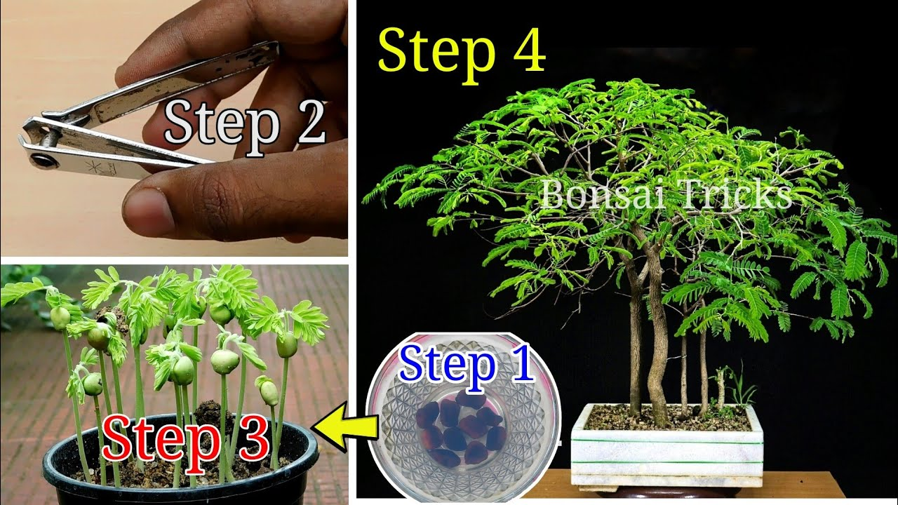 Download How to grow tamarind from seed for Tamarind bonsai forest