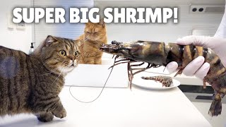 My Cats Went Crazy for Black Tiger Shrimp! | Kittisaurus